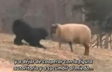 40-Oveja y el Perro Ovejero